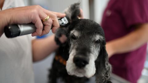 Eine Tierärztin untersucht in einer Tierarzt-Praxis die Ohren eines Hundes der Rasse English Cocker Spaniel.