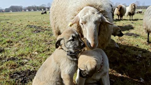 Zwei Hundewelpen sitzen vor einem Schaf