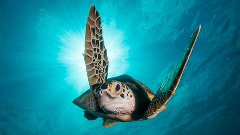 Die Suppenschildkröte, Sie ist die einzige Meeresschildkrötenart, die auch im Erwachsenenalter reiner Pflanzenfresser bleibt.