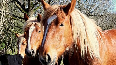 Noch steht das Schleswiger Kaltblut auf der Roten Liste der vom Aussterben bedrohten Nutztierrassen. Jungtiere wie diese sollen für den Fortbestand der regionalen Pferdeart sorgen.