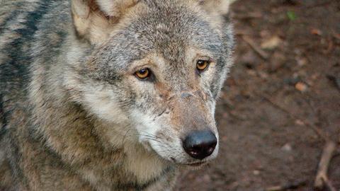 Der Wolf. Früher als Bestie verfolgt, heute unter Schutz gestellt. Gefallen tut das nicht jedem.