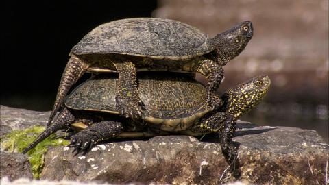 Europäische Sumpfschildkröten sonnen sich auf den antiken Steinen in Butrint.