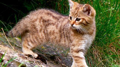 Wildkatzen - Versteckt in Deutschlands Wäldern
