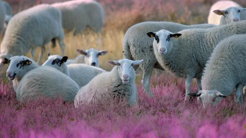 Schafe in Heidelandschaft