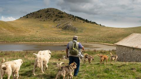 Schafsherde mit Hütehunden