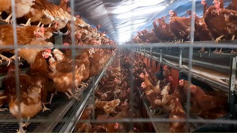 Pro Jahr vermarktet das Unternehmen Landkost-Ei 1 Milliarde Eier. Den Großteil dieser Eier legen Hühner, die in Bodenhaltung in Volierenform leben. Das heißt, die Hühner haben mehrere Etagen hoch Sitzstangen und Schlafplätze. Sie können aber auch auf den Boden flattern. In dieser Form der Bodenhaltung erlaubt der Gesetzgeber bis zu 18 Hennen pro Quadratmeter. Ins Freie kommen die Tiere niemals.