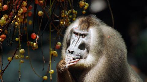 Ein Drill isst Beeren von einem Strauch.