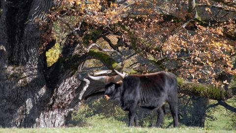 """Der Auerochse war bis zu seiner Ausrottung weit verbreitet in den Wäldern Nord- und Westeuropa. Als """"Landschaftsplaner"""" hielt er die Wälder offen und sorgte somit für abwechslungsreiche Wälder mit hohem Artenreichtum."""