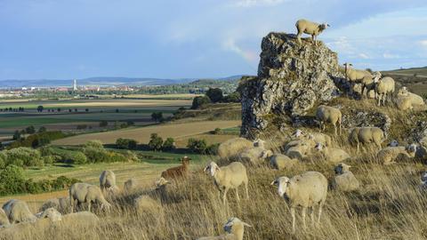 Herde aus Schafen und Ziegen auf dem Goldberg mit Blick auf das Nördlinger Ries