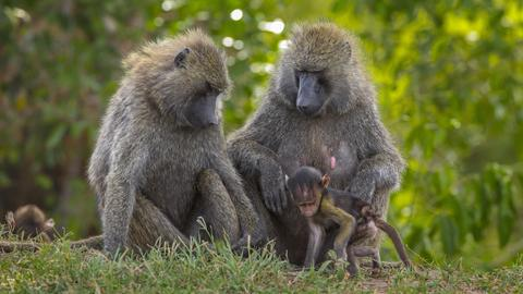 Paviane (Papio anubis), Tierfamilie mit Jungtieren