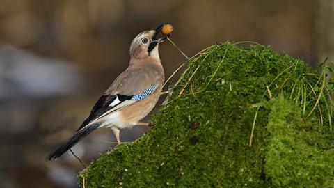 Ein Eichelhäher sitzt auf einem mossbewachsenen Baumstumpf und hat eine kleine Eichel im Schnabel.
