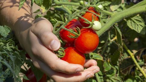 Reife Tomaten am Strauch, die von einer Hand gehalten werden.