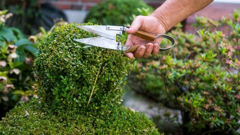 Ein Mann stutzt mit einer Gartenschere einen Buchsbaum in seinem Vorgarten.