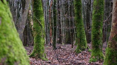 Die der Wetterseite zugewandte Seite von Laubbäumen im Habichtswald ist grün vermoost.