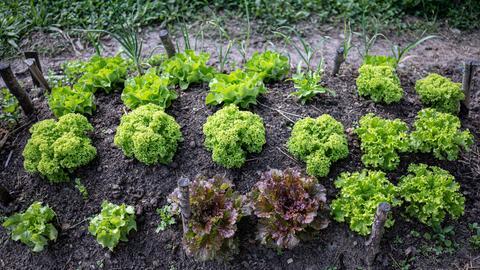 Selbstangebauter Salat in einem Garten.