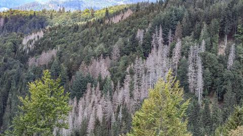 Luftbild eines ausgedörrten Nadelholzwaldes mit abgestorbenen Bäumen.