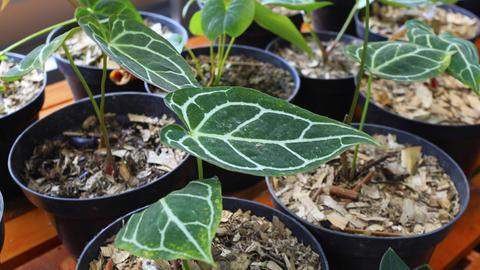 Elf kleine Ableger der Pflanze Anthurium Clarinervium in schwarzen Plastiktöpfen.