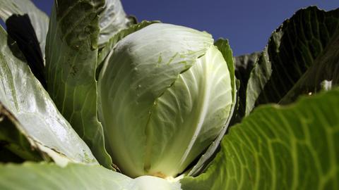 """Die Pfalz ist der """"größte Gemüsegarten Deutschlands"""". Im Rhein-Pfalz-Kreis liegen etwa sieben Prozent aller deutschen und rund die Hälfte der rheinland-pfälzischen Anbauflächen für Gemüse. Kohl gehört zur Pfalz."""