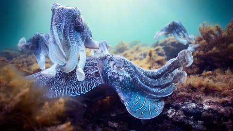 Riesensepien, eine Tintenfischart, bei der Paarung.
