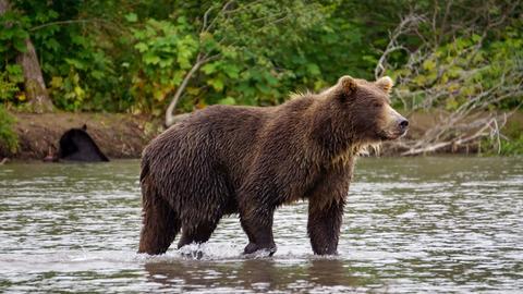 Kurilensee - Kamtschatka-Bär