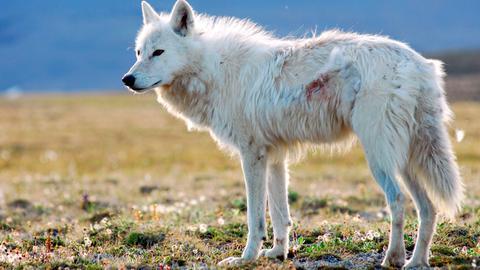 Ein Polarwolf auf Ellesmere Island im hohen Norden Kanadas.
