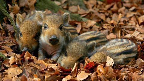 Junge Wildschweine in der Südheide.