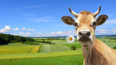 Eine Kuh mit einer Blume im Mund auf einer Wiese