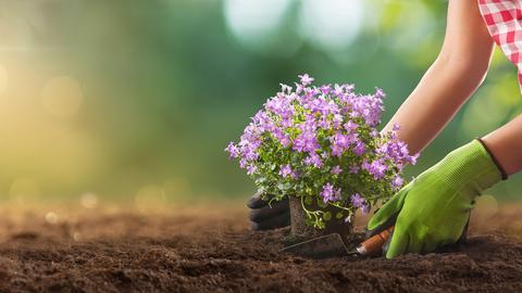 Frau setzt Blumen in die Erde.