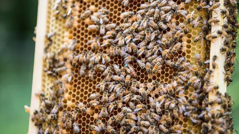 Eine Honigwabe mit vielen Bienen.