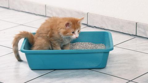 Eine orangerotes Kätzchen der Rasse Norwegische Waldkatze sitzt auf einem Katzenklo.