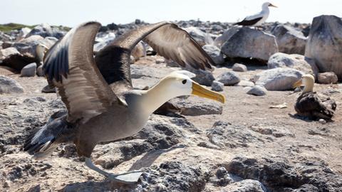 Mitten im Pazifik der Galapagos-Archipel. Die Inseln gelten als Arche der Evolution. Nirgendwo sonst gibt es ein solch seltsames Sammelsurium an Tieren. Die Flügelspannweite von 2,50 m macht den Galapagos-Albatros zu einem grazilen Flieger.