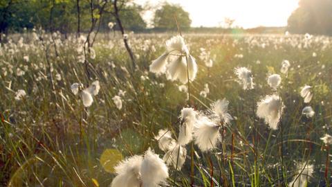 Blühendes Wollgras bedeckt im Sommer die Moore im Nationalpark Jasmund auf Rügen.