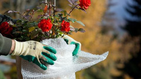 Die behandschuhten Hände eines Freizeitgärtners packen eine in einem Topf wachsende Rose mit Plastikfolie ein. Die Folie soll die Pflanze in der kalten Jahreszeit vor Frost und somit dem Erfrieren schützen.