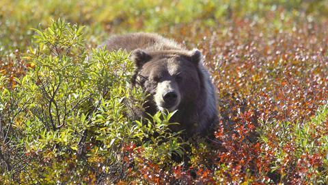 Etwa 200 Grizzlis leben im Denali Nationalpark . Im Herbst ernähren sie sich hauptsächlich von den Beeren der Tundra.