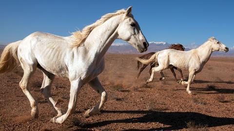 Wildpferde, Marokko.