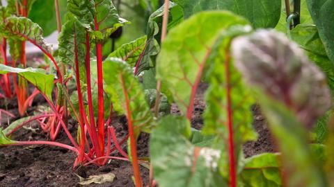 Roter Mangold in Gartenerde.