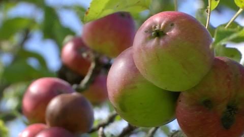 Apfelernte Apfelwein