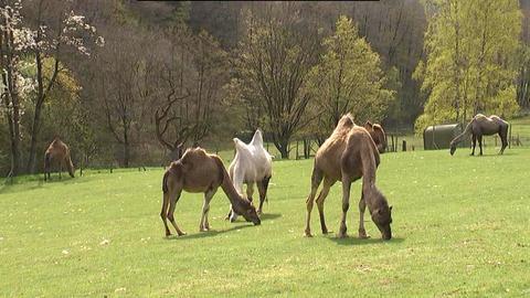 Kamele Trampeltier