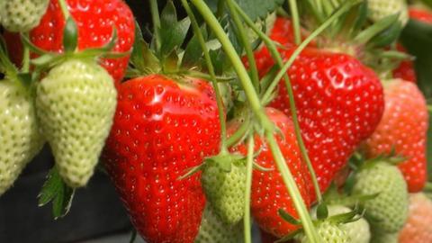 Hessische Erdbeeren