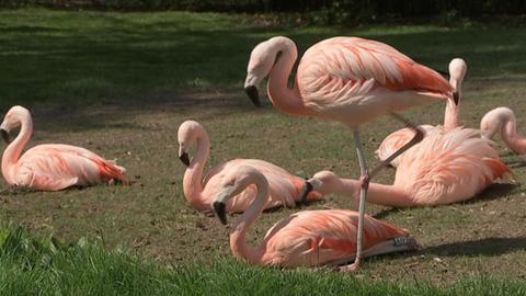 Zoo Frankfurt Flamingo