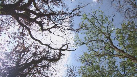 Abgestorbene Eichenkronen im Stadtwald Frankfurt