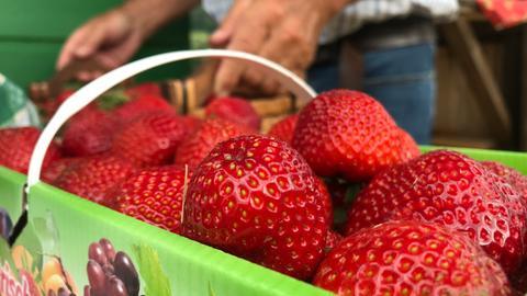 Erdbeeren Selberpflücken
