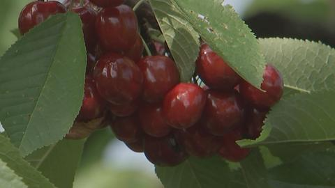 Kirschenernte Obsthof am Steinberg