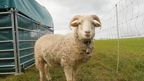 Rundbogenhalle für Ziegen