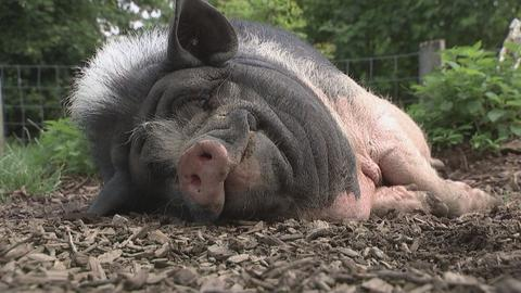 Sababurg schlafendes Schwein