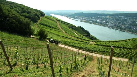 Weinanbau auf 300 Höhenmetern im Rheingau