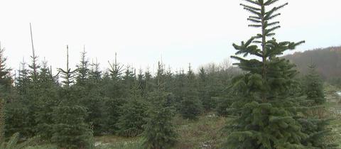 Weihnahctsbäume im Taunus bei Familie Groos