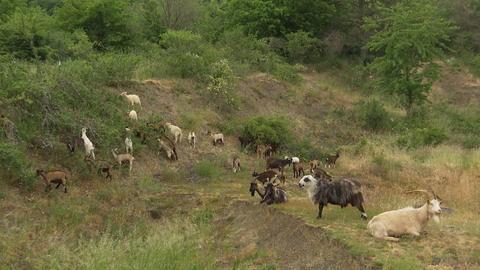 Biotoppflege durch Ziegen