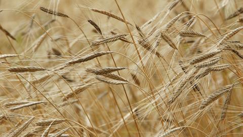 Getreide-Ähren in der Nahaufnahme.