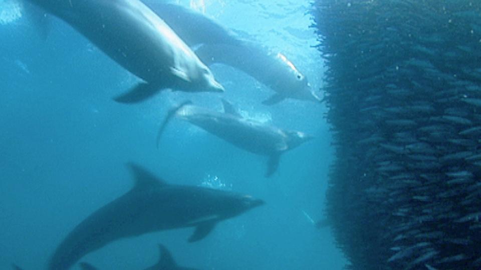 Delfine jagen in der Gruppe: Mit einem Vorhang aus Luftblasen kesseln sie die Sardinen vor dem Angriff ein.